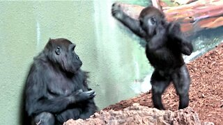 Gorilla baby tries his best to entertain the older gorillas