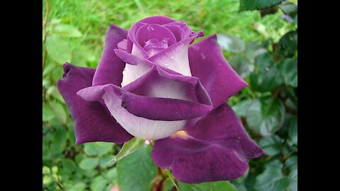 Rare Purple White Rose