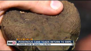 Deadly Cane Toads return to SWFL - Video