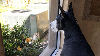 Great Dane & New Family Cat Check Each Other Out  - Video