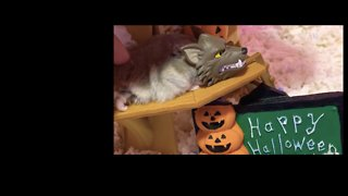 Sleepy Hamster Never Misses a Trick or Treat