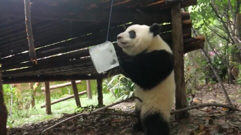 Pandas keep cool by playing with ice in China