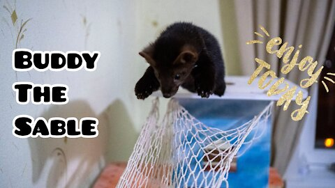Buddy the sable and his hammock