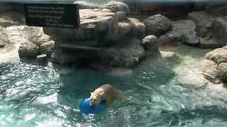Polar Bear Has a Ball With Favourite Toy at North Carolina Zoo - Video