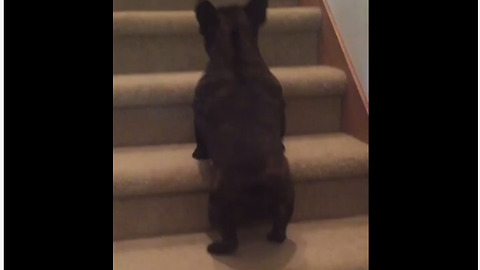Funny pup hops up staircase like rabbit