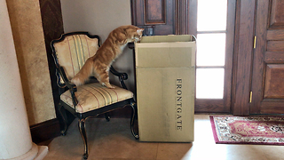 Curious Cat Can't Resist Temptation of a Box