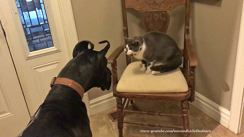 Cautious cat makes friends with Great Dane