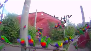 Rainbow Lorikeets wild and free in their native Australia - Video