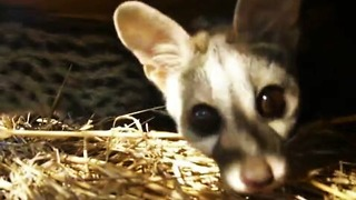 Rescued baby genets are curious about the camera