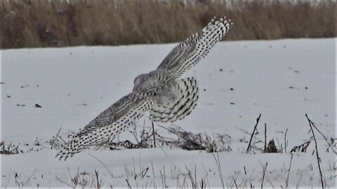 Majestic snowy owl takes flight over snow covered field during hunt