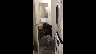 This doggy refuses to walk past the washing machine door