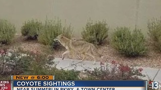 Coyote sightings reported in Summerlin - Video