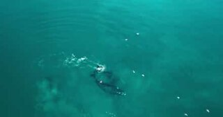Drone images show the migration of Southern right whales