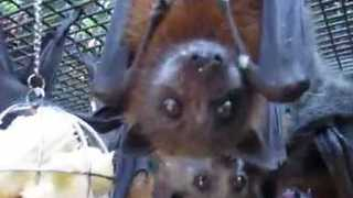 Fruit Bats Go Nuts Over Banana Treat - Video