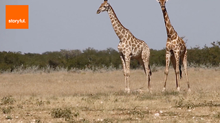 Celebrate With These Gentle Giants - Video