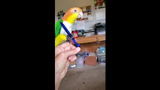 Parrot playing with a pen learns to imitate clicking noises