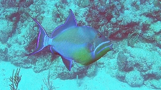 The amazingly beautiful queen triggerfish - Video