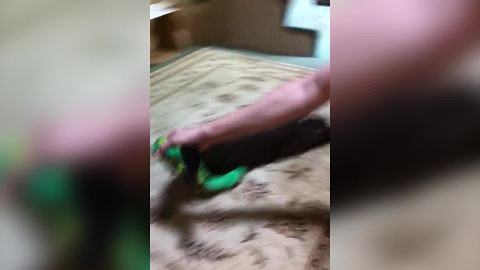 A Puppy Dog Holds Onto A Toy And Drags On The Floor