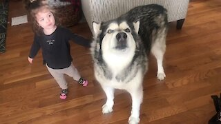 Alaskan Malamute loves having his name called by sweet little girl
