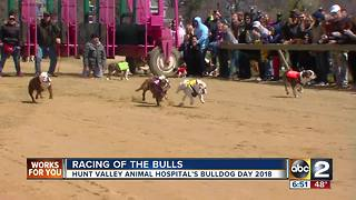 Racing of the bulls - Video