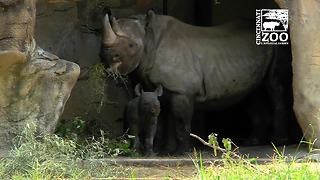 Black Rhino Calf And Mom Make Presence At Cincinnati Zoo - Video