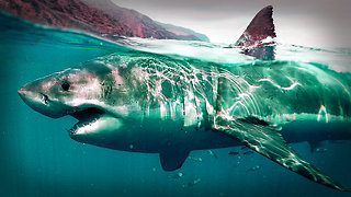 Great White Sharks Can Be Deterred By An Electric Device