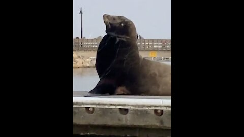 Sea lion spotted in Oceanside Harbor with net around its neck