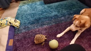 I SHELL CATCH YOU! TENACIOUS TORTOISE CHASES DOG AROUND LIVING ROOM