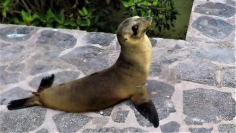 Very funky baby sea lion waddles adorably to the ocean