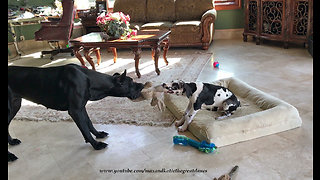 11-week-old Great Dane puppy loves to play tug-of-war - Video