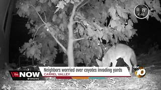 Neighbors concerned about coyotes in backyards - Video