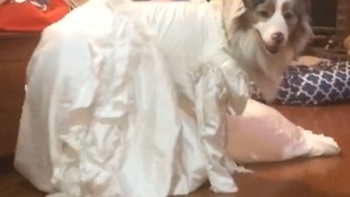 A Dog Wears A Wedding Dress - Video