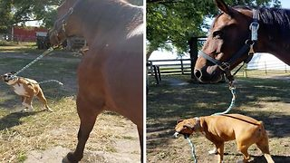 Adorable video shows dog taking his equine friend for walkies - Video