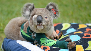 Pinto the Koala Released Into Wild After Remarkable Recovery - Video