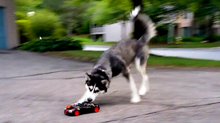 Cute Siberian Husky Dog Chasing Bugatti RC Car - Video