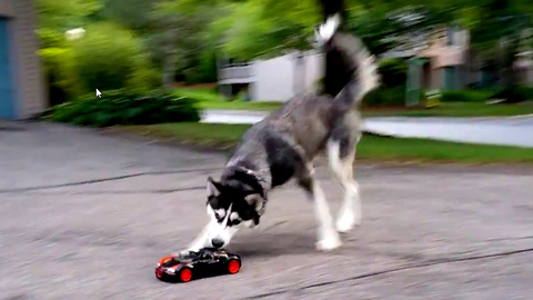 Cute Siberian Husky Dog Chasing Bugatti RC Car