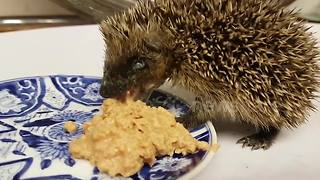 Vet feeds baby hedgehog after freeing it from a conker stuck around its neck - Video
