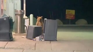 Adorable Bear Gets Caught Searching Through Garbage