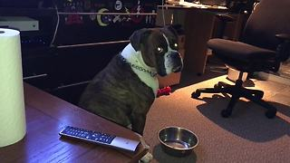 Boxer throws tantrum when water bowl is empty - Video