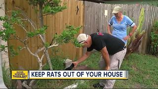 Rats running amok in St. Petersburg: Three ways to keep the rodents out of your house - Video