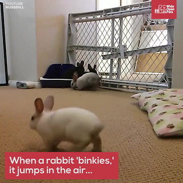 Flemish Giant Rabbits What It Really Takes To Own One