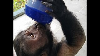Monkey Drinking Out of a Baby Sippy Cup  - Video