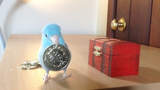Charlie the Parrotlet puts his money in the bank - Video