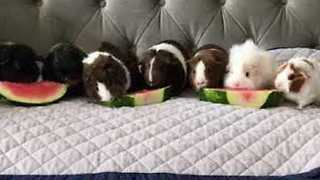 Guinea Pigs Enjoy Watermelon Snack - Video