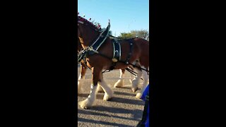 Budwiser Clydesdale horses came to town