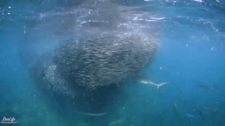 Spectacular Video Shows Schools of Fish Forming a Bait Ball - Video