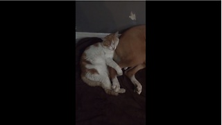 Kitten adorably cuddles with doggy - Video