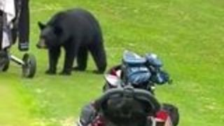 Bear Interrupts a Game of Golf in Anchorage, Alaska - Video