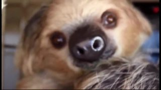 Meet Fernando: The Phoenix Zoo's first sloth - Video