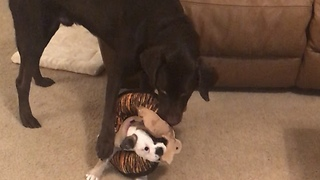 Puppy becomes part of dog's play toy